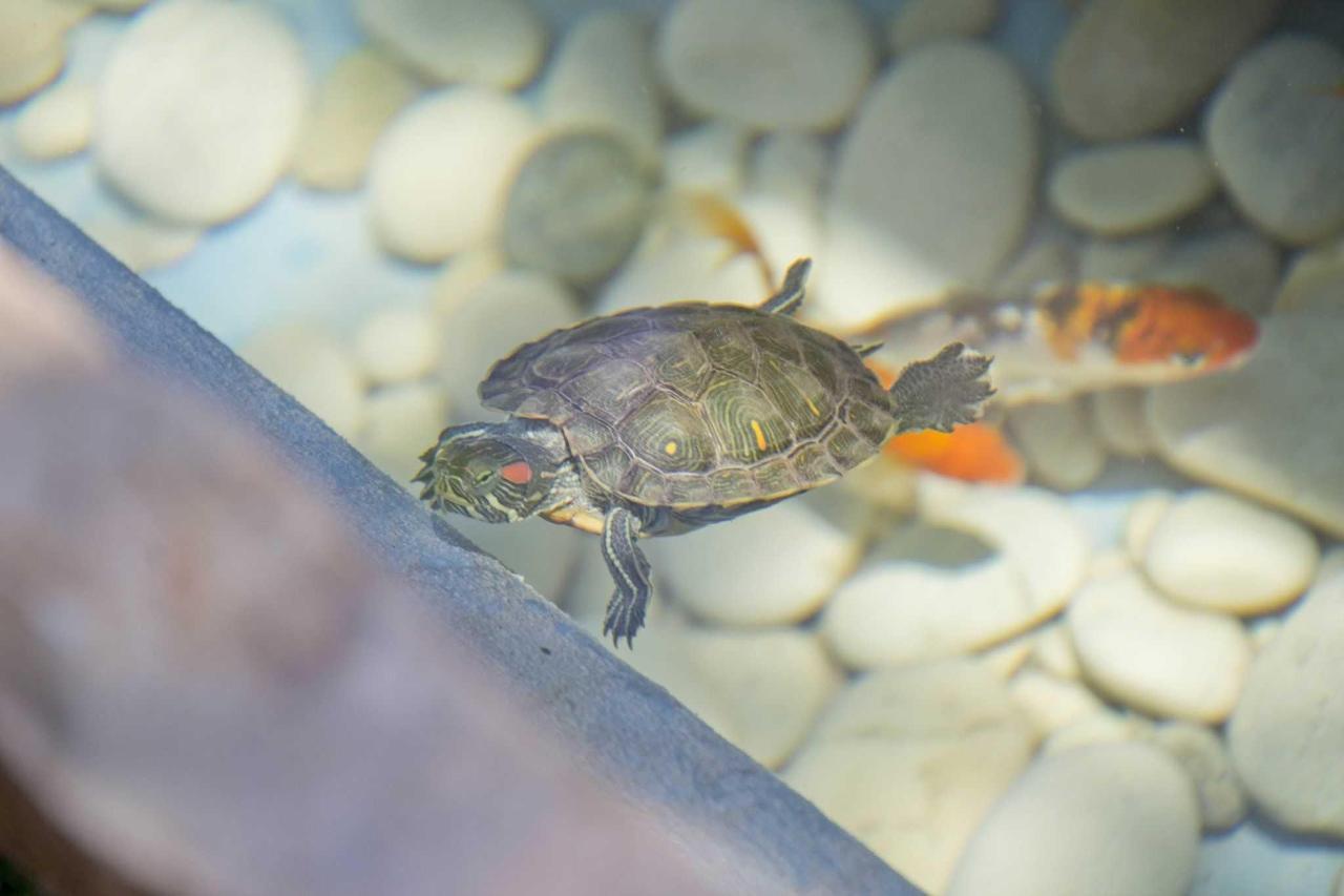 Schildpad en Koi