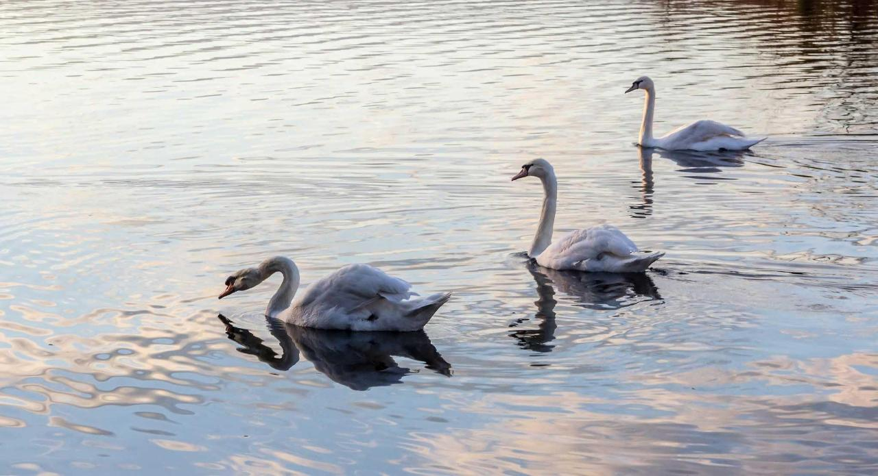 Treviso - white swans on the river Sile