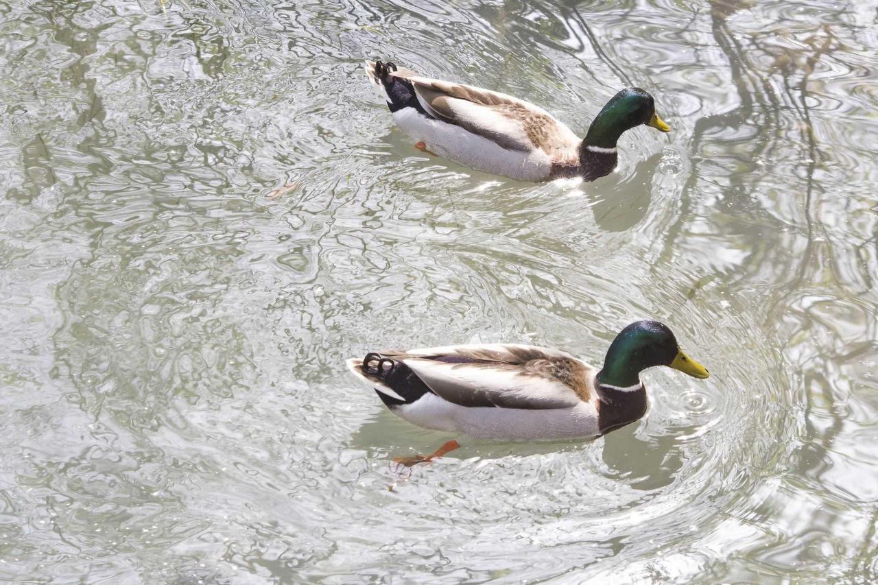 Treviso - River Sile - Mallard Duck