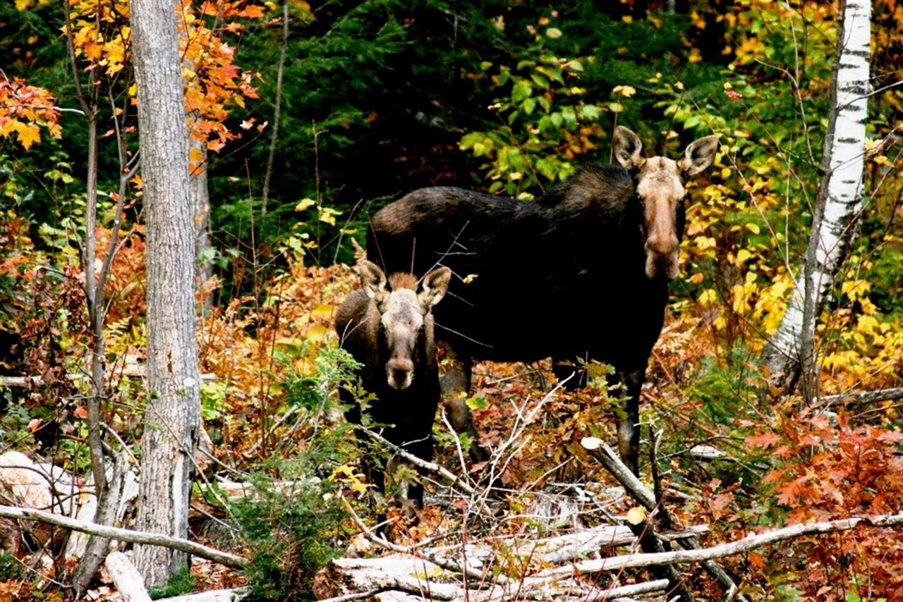 moose-n-calf-near-coppertoppe-at-newfound-lake-nh.jpg.1024x0.jpg