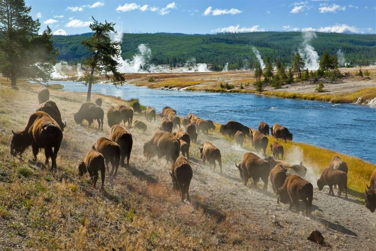bison_midway_geyser_basin.jpg.1024x0.jpg