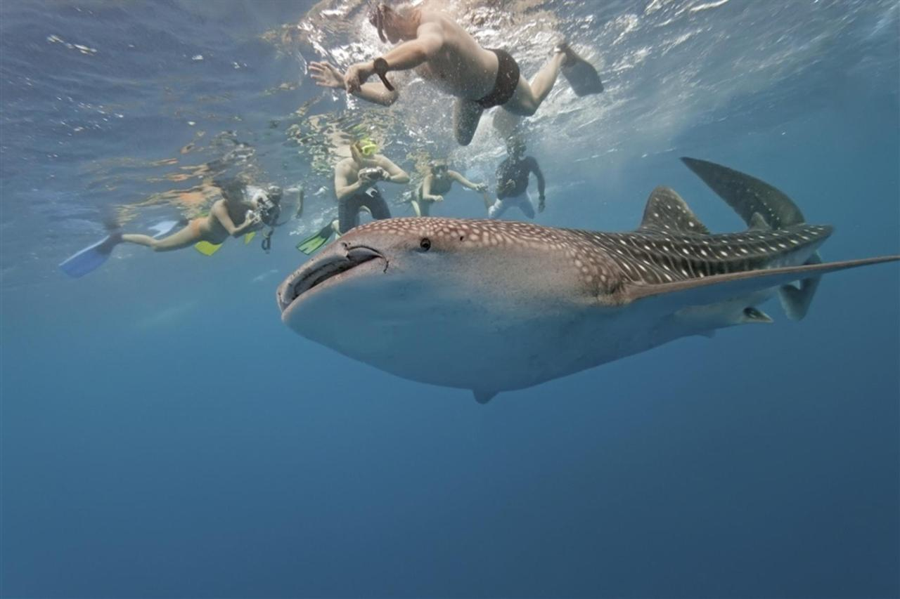 Snorkeling with whale sharks in La Paz bay.jpg
