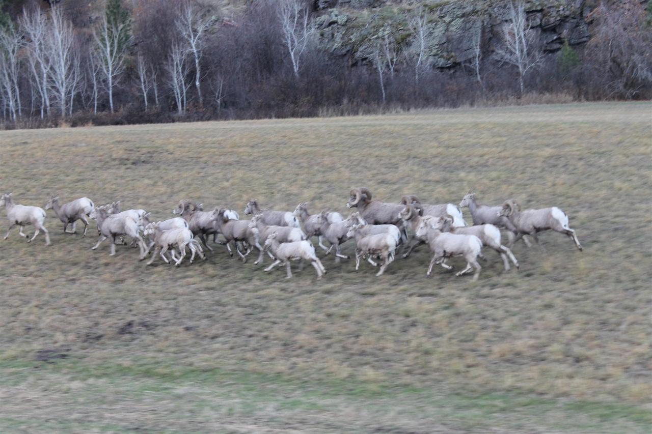 Senders County has one of the largest big horn sheep herd in the lower 48.jpg
