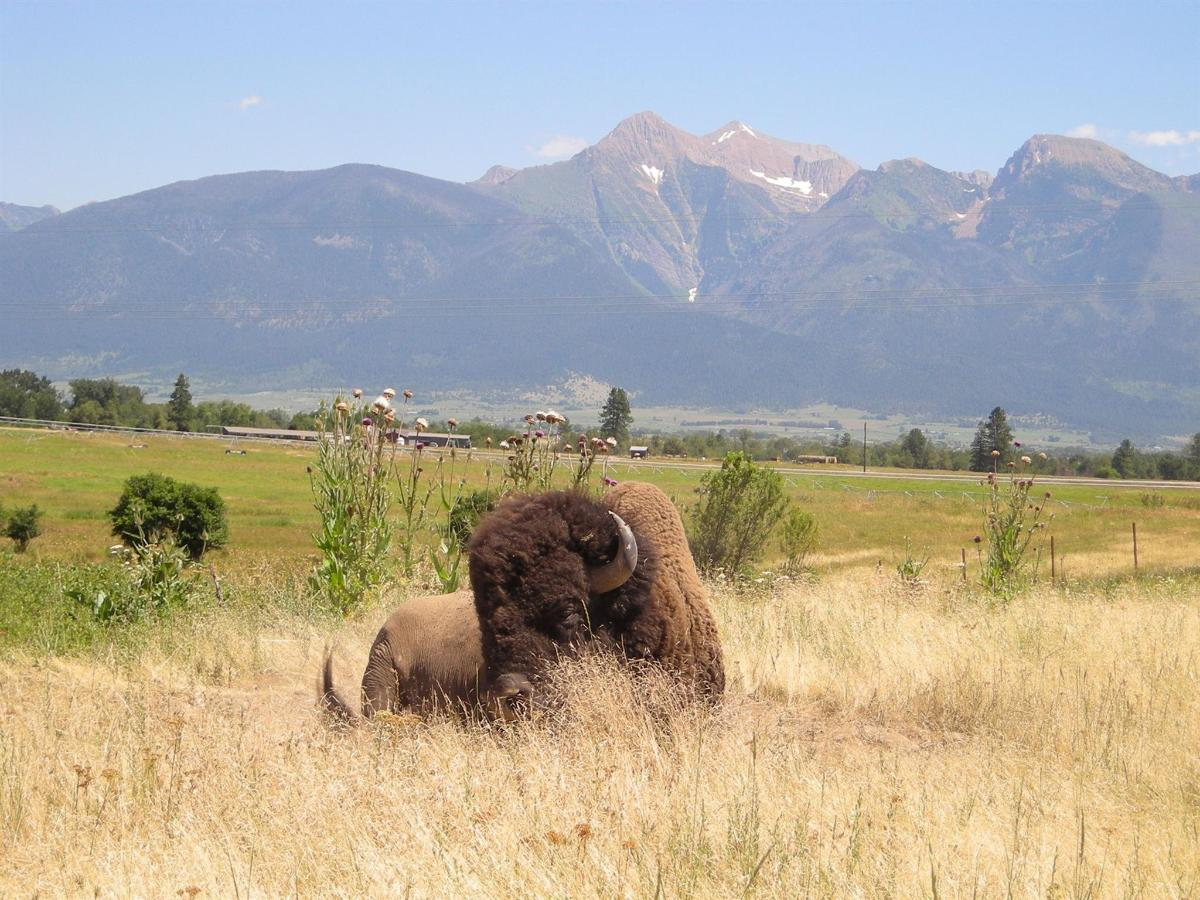 Bull Bison with Mission Mountain as the back drop at the National Bison Range.jpg