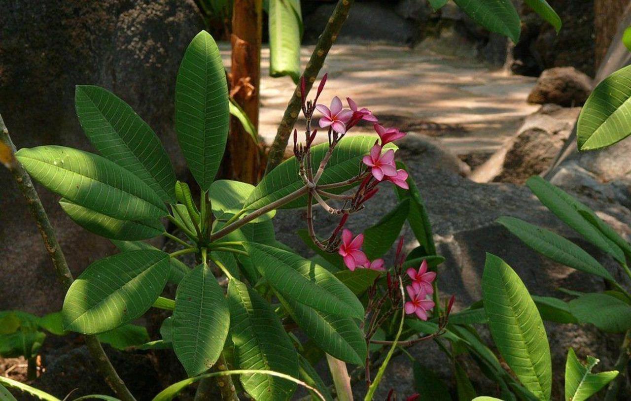 Frangipani flowers... Sacuanjoche.