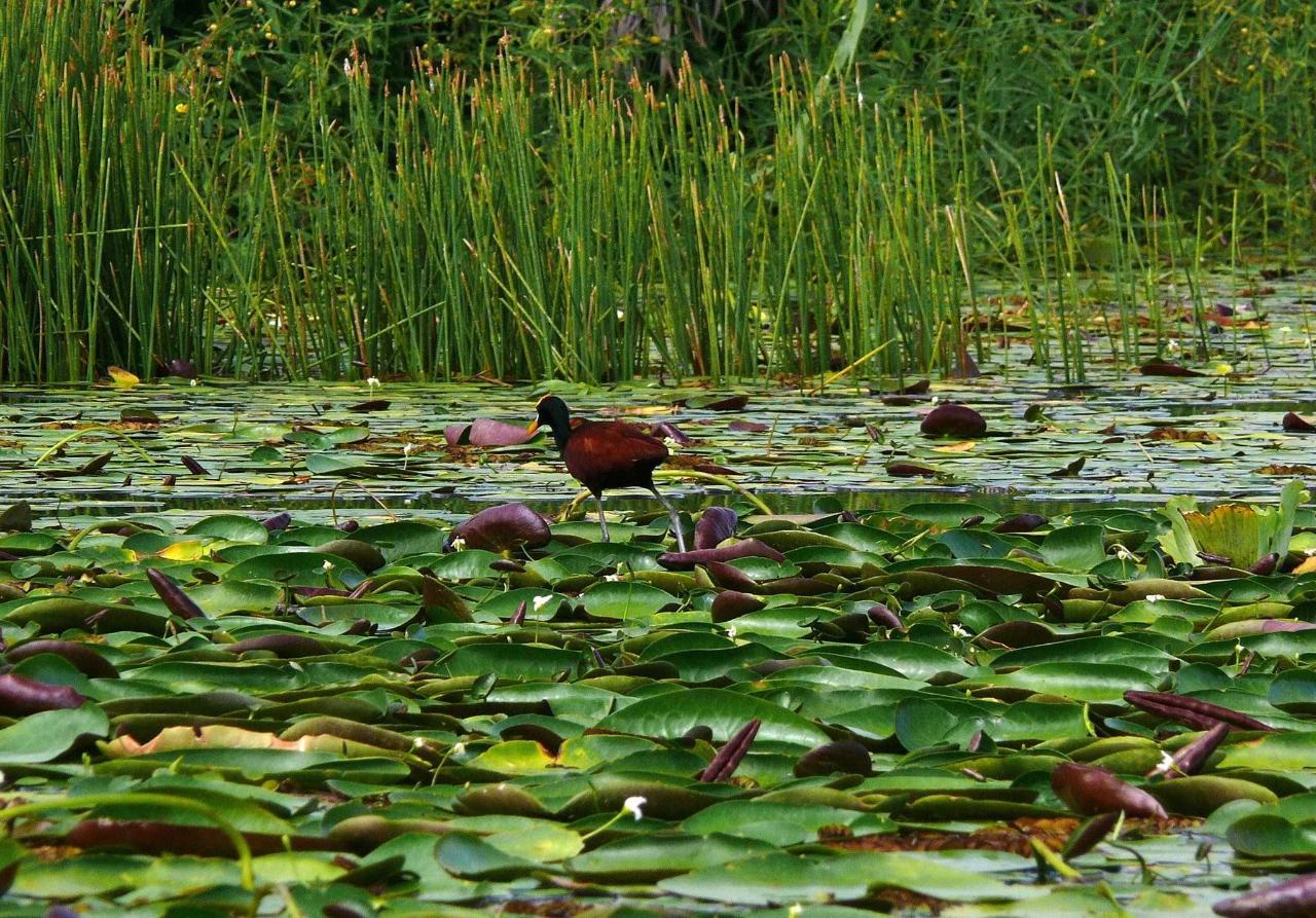 Northern Jacana so light that he can walk on these water lilies.JPG
