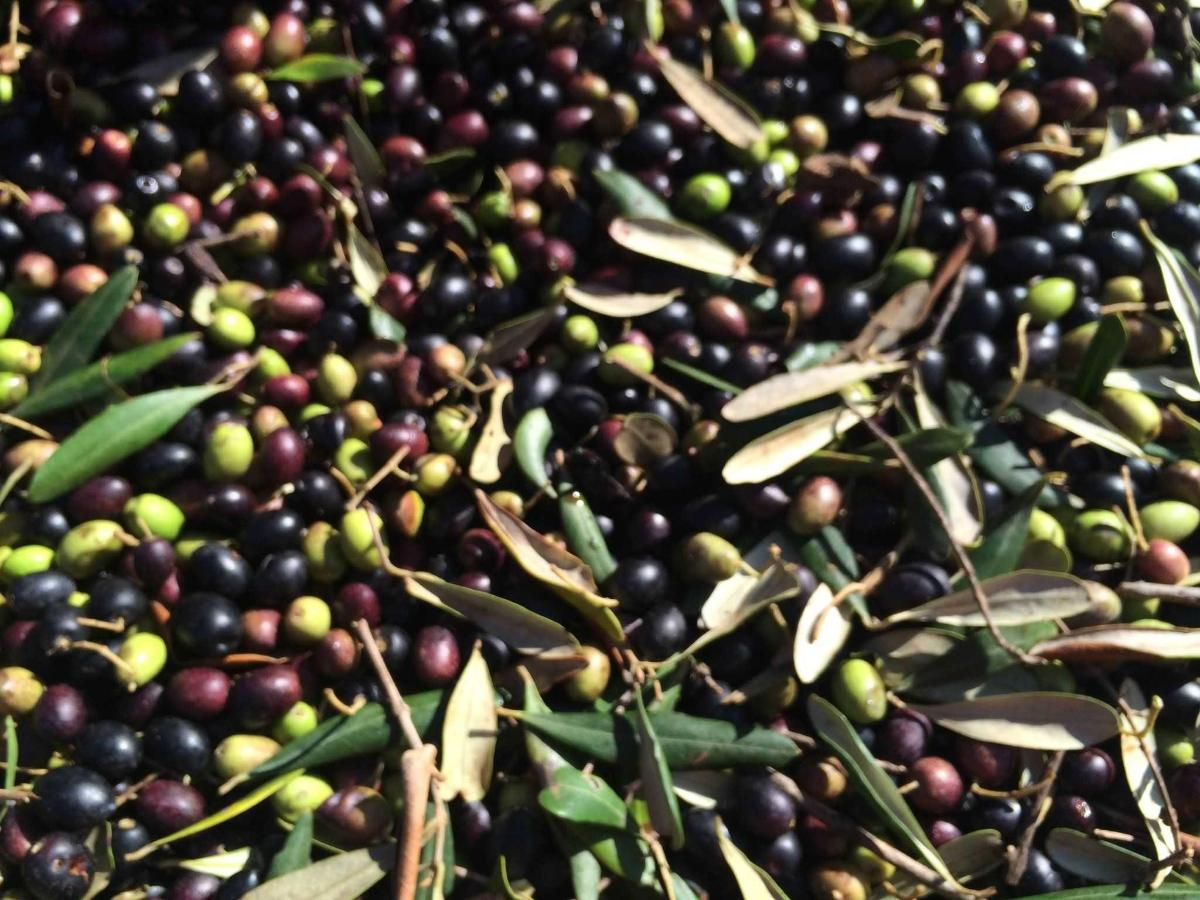 It's harvest time! Spirdo organic extra virgin olive oil 2015
