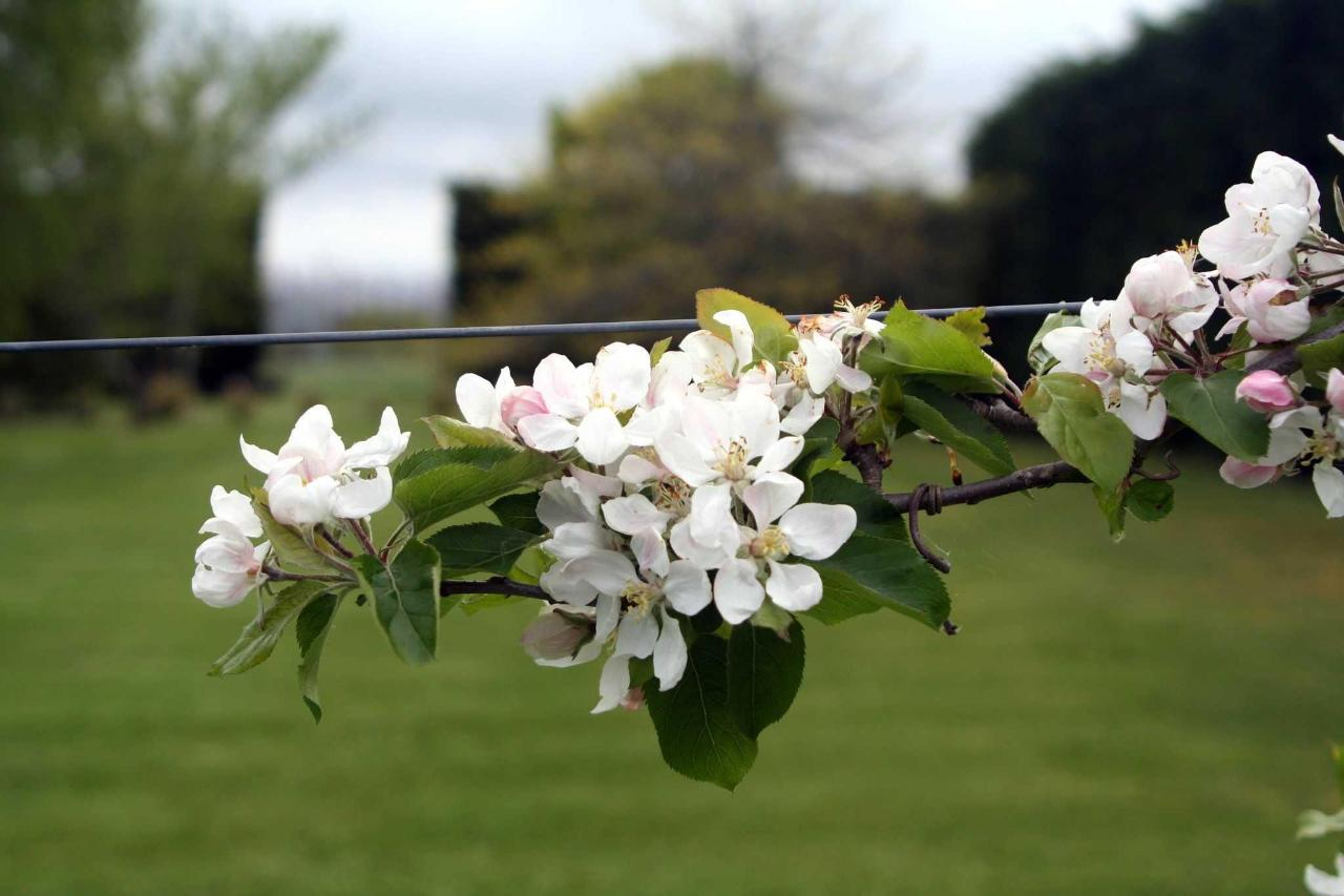 Apple blossom - over 12 varieties of apple in the orchard.JPG