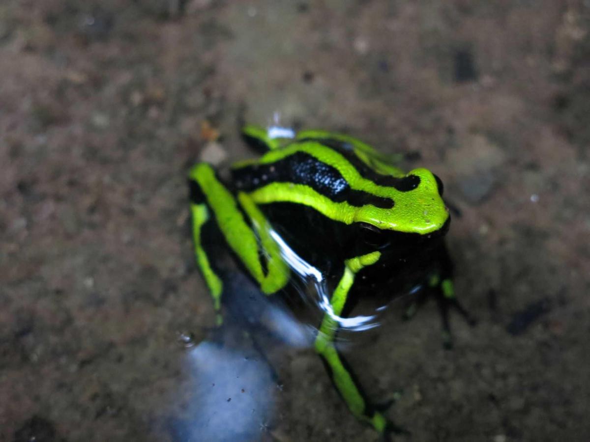 Amazon frog.JPG