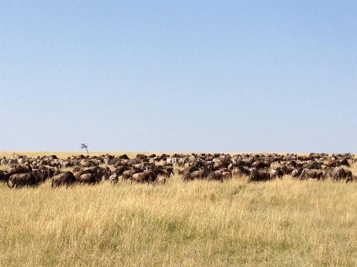 Wildebeests on the move.jpg