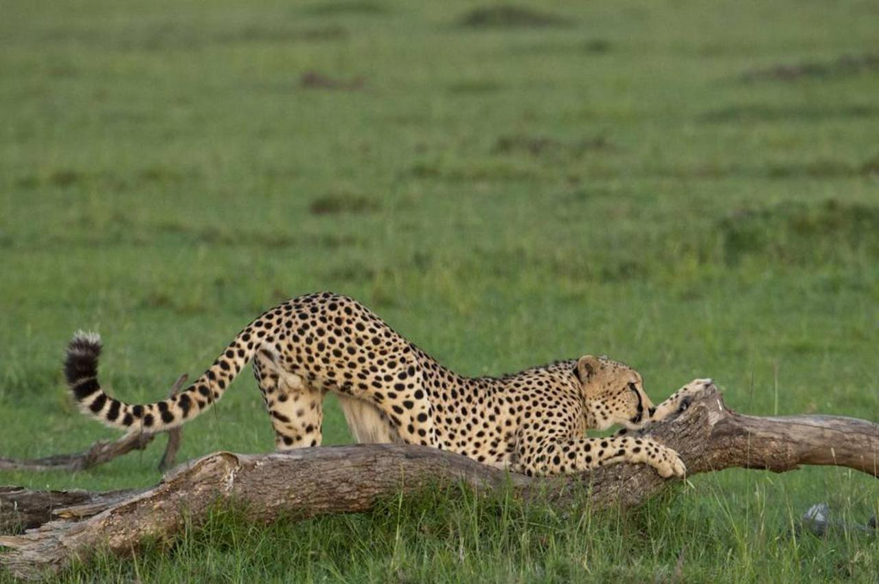 Cheetah stretching.jpg