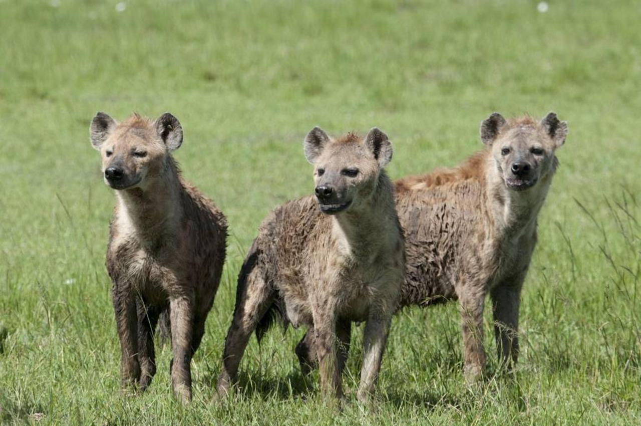 Clan of hyena.jpg
