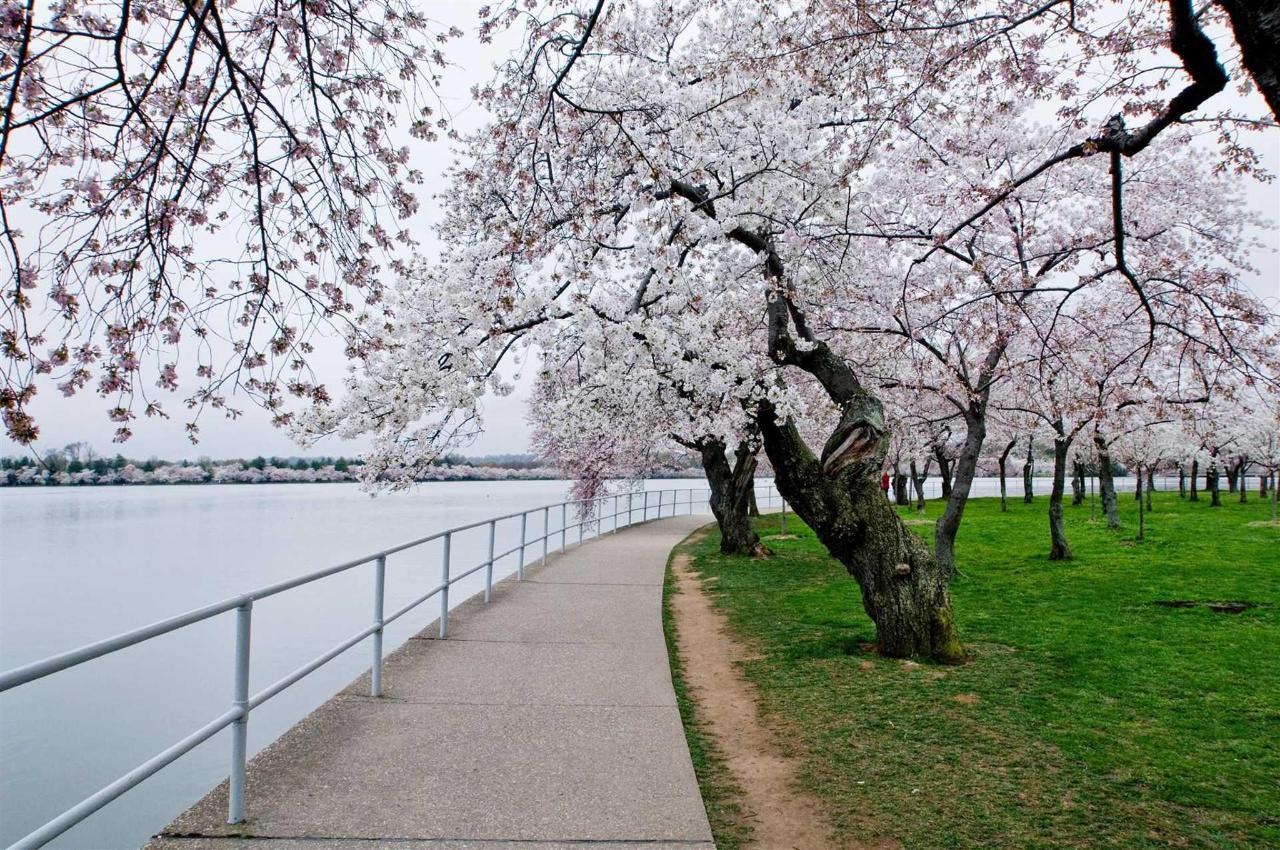 樱桃blossom.JPG.1920x0.JPG
