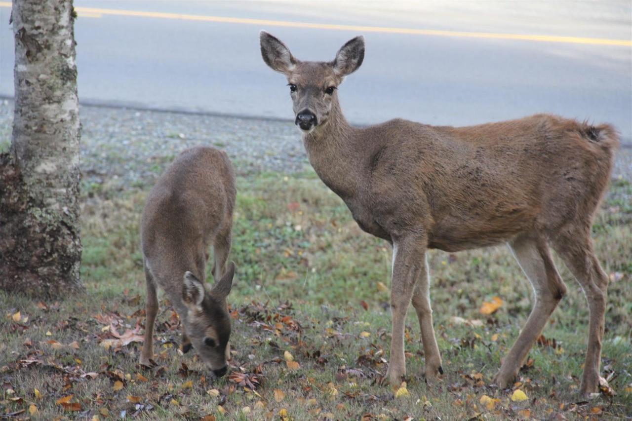 Vancouver Island Analarai Deer
