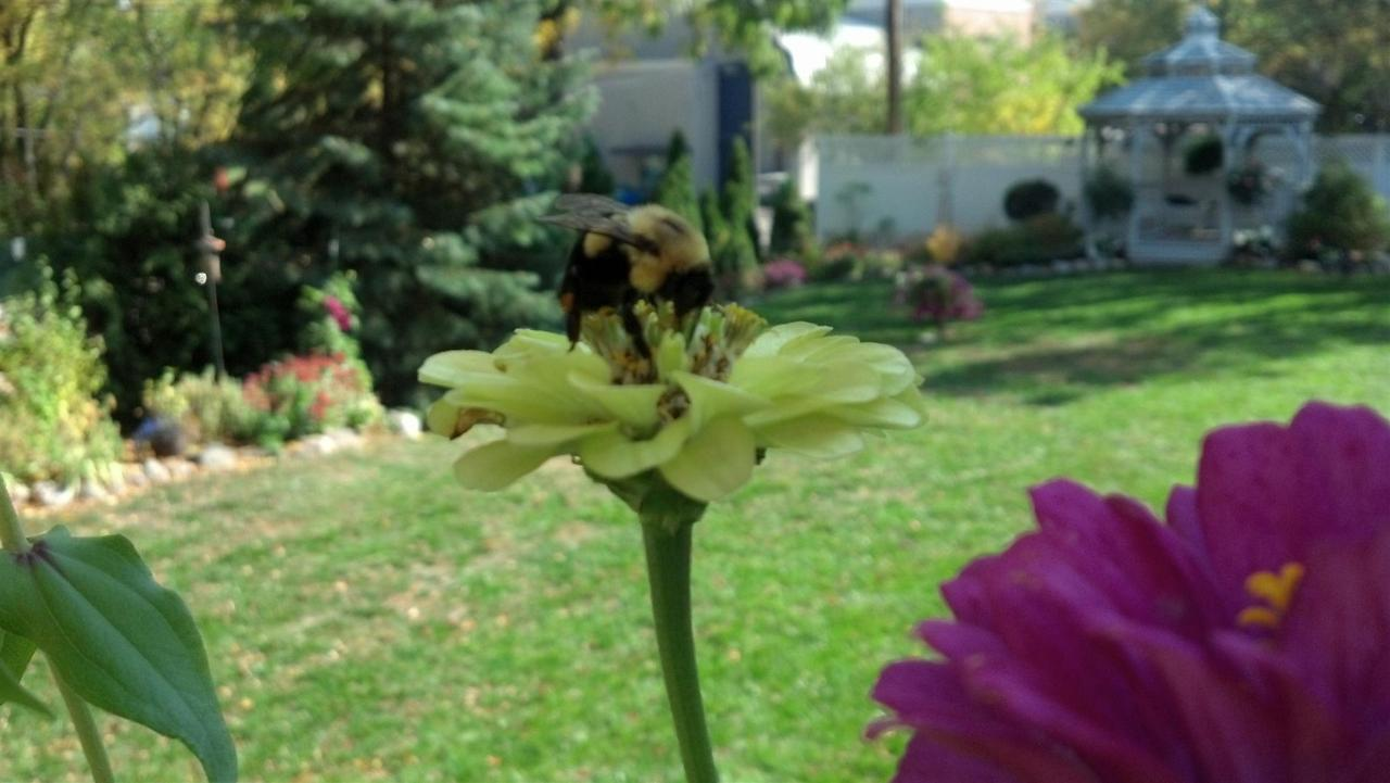 bee-in-zinnia-backyard-2012.jpeg.1920x0.jpeg