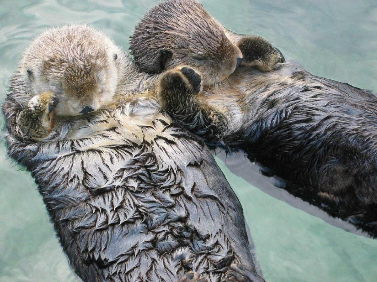 sea-otters-holding-hands1.jpg.1920x0.jpg