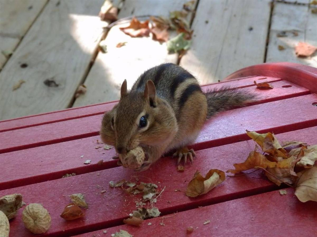 sauble-falls-bed-and-breakfast-resident-chipmunk.jpg.1024x0.jpg