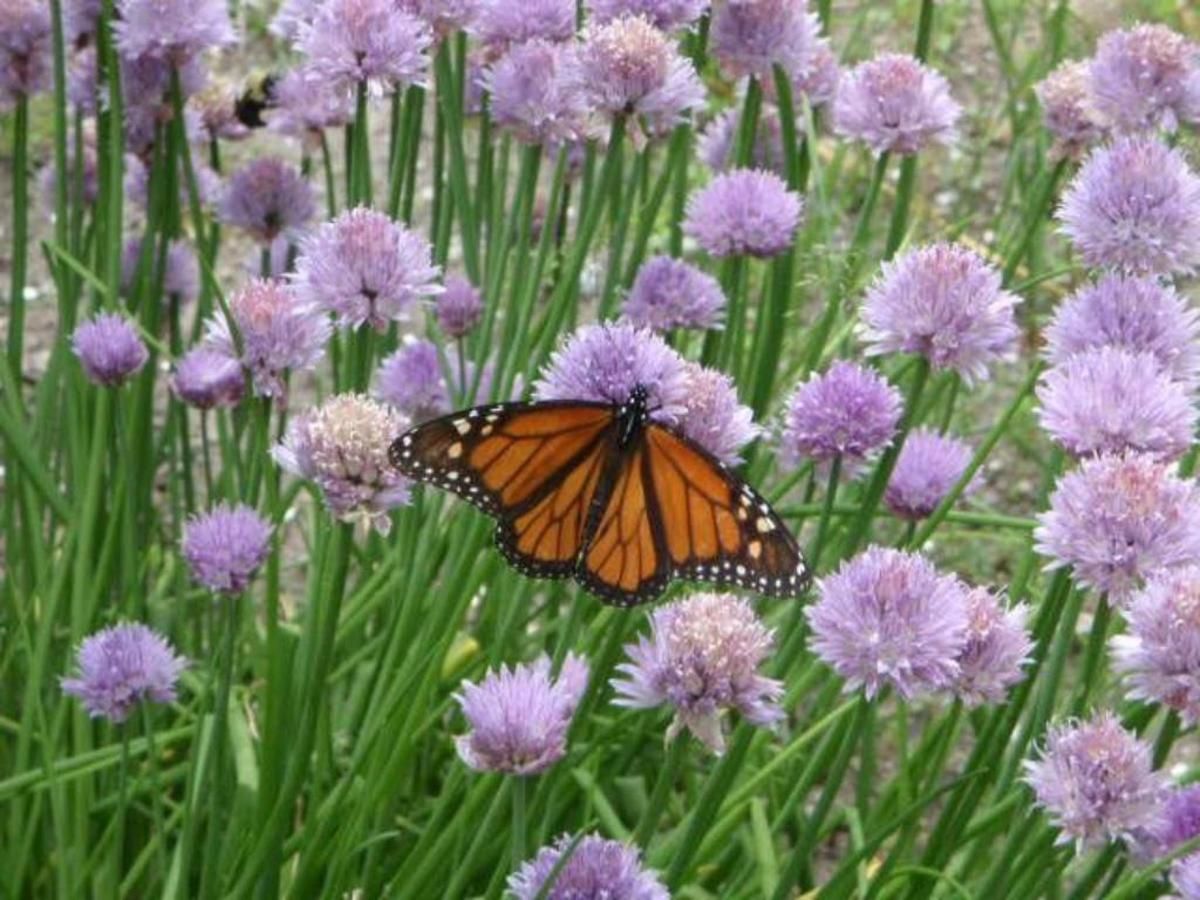 saublefallsbedandbreakfast-a-monarch-on-our-chives1.jpg.1024x0.jpg