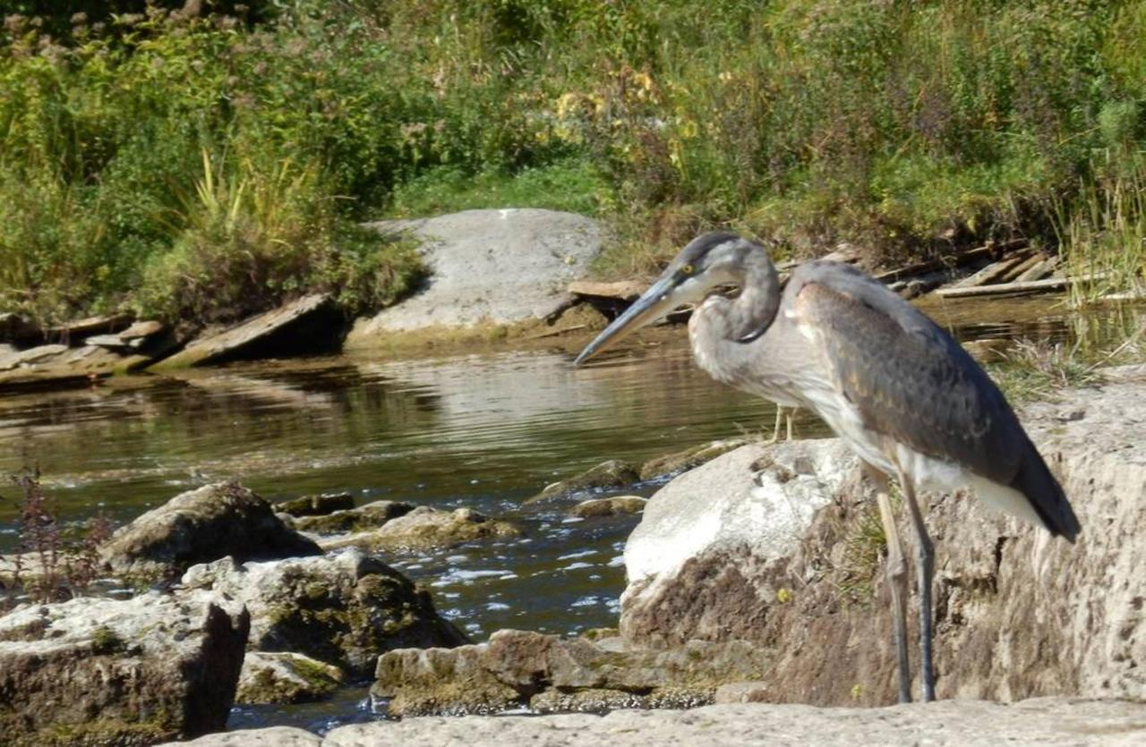 blue-heron-at-sauble-falls-2.jpg.1024x0.jpg