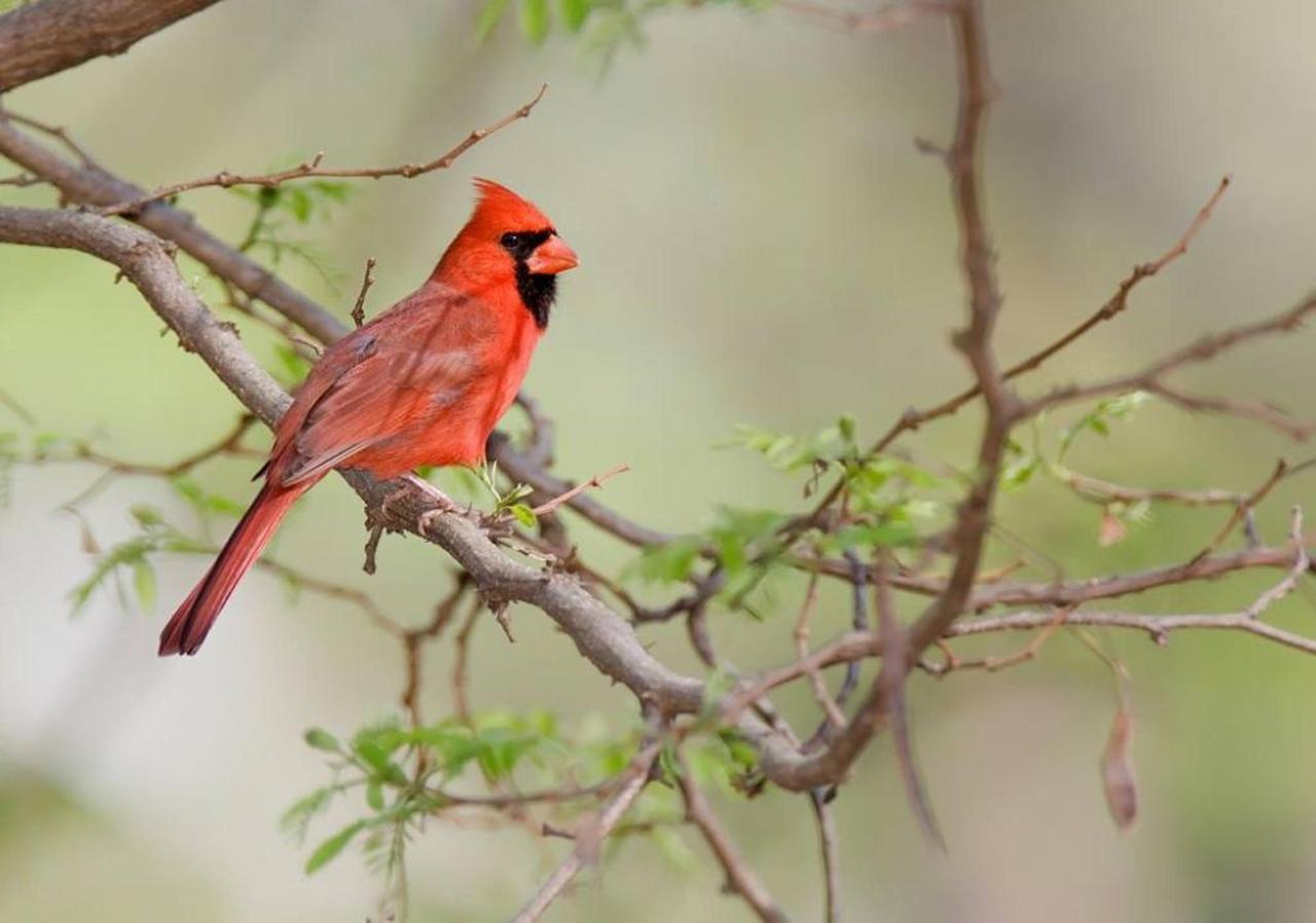 northern-cardinal-21.jpg.1024x0.jpg