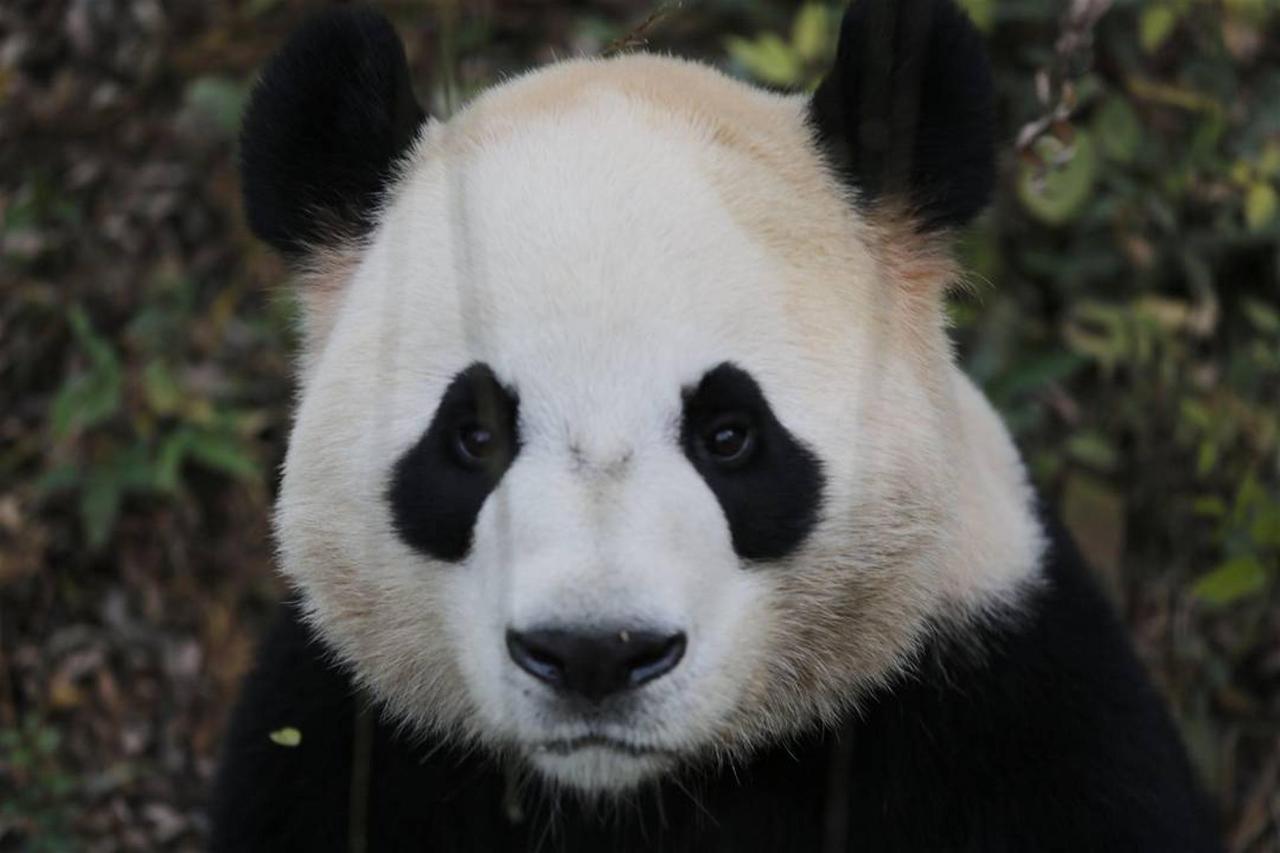 da-mao-panda.JPG.1080x0.JPG