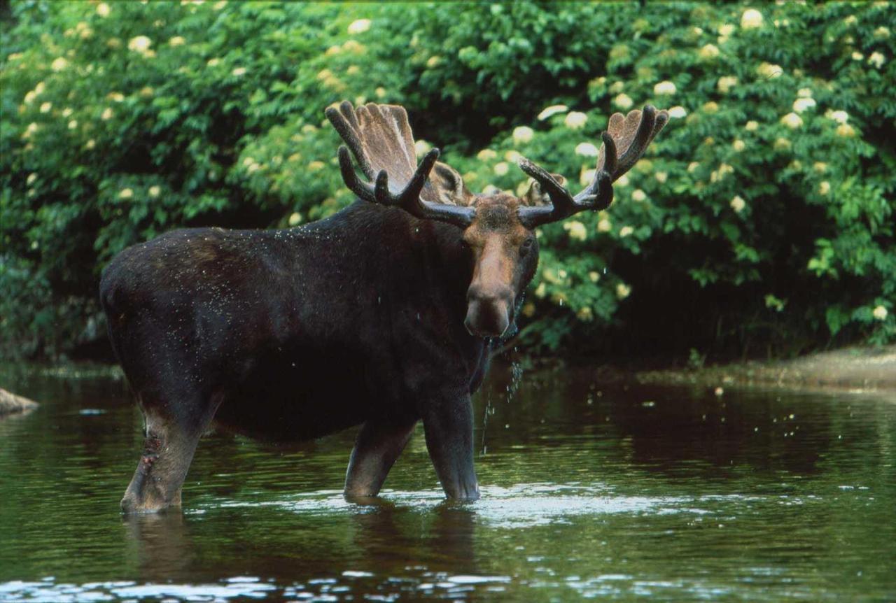 moose.jpg.1920x0.jpg