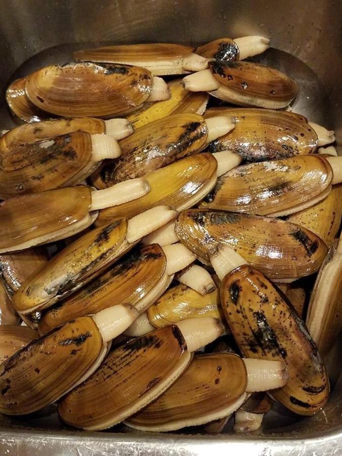 Razor clam harvest!
