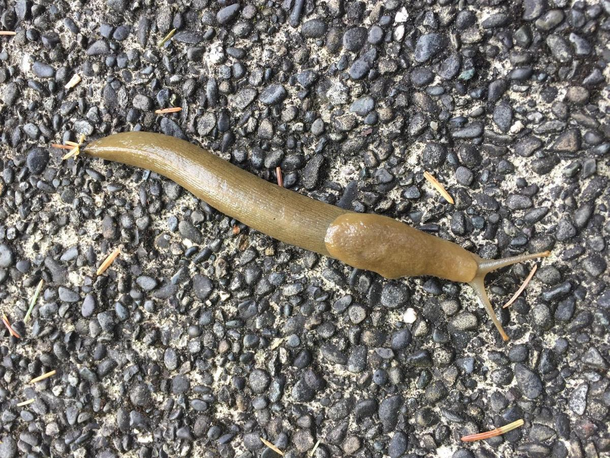Great NW Slug