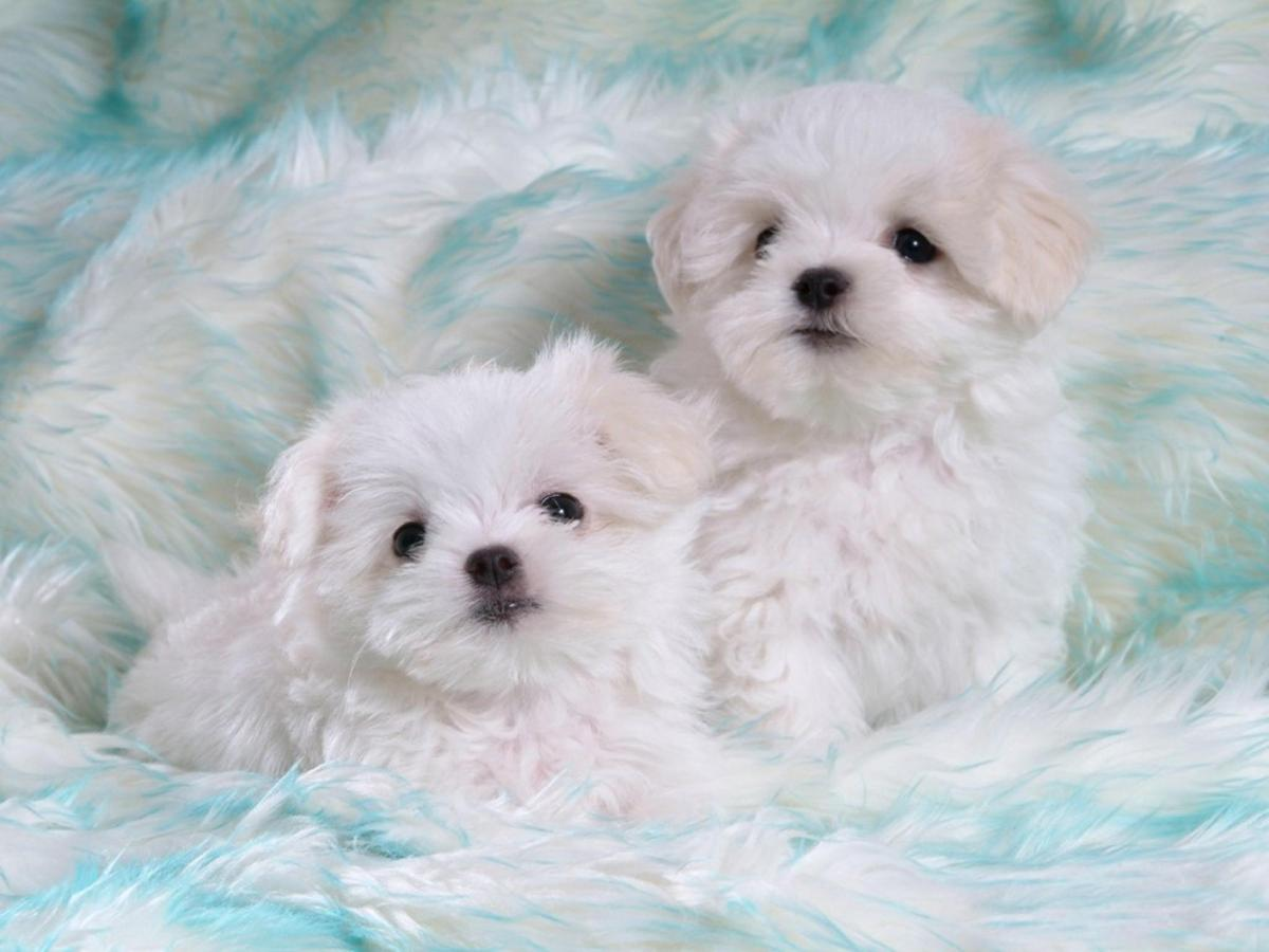 Cute-White-Puppies.jpg