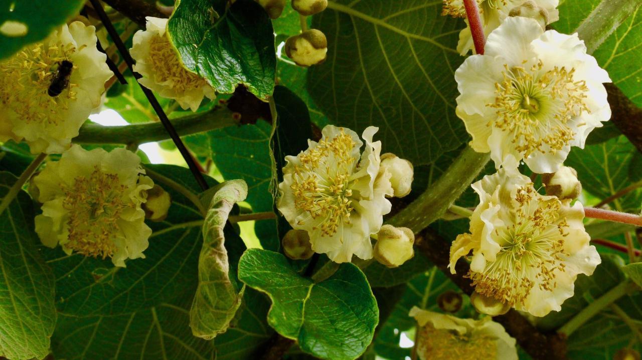 Kiwi-Blüten
