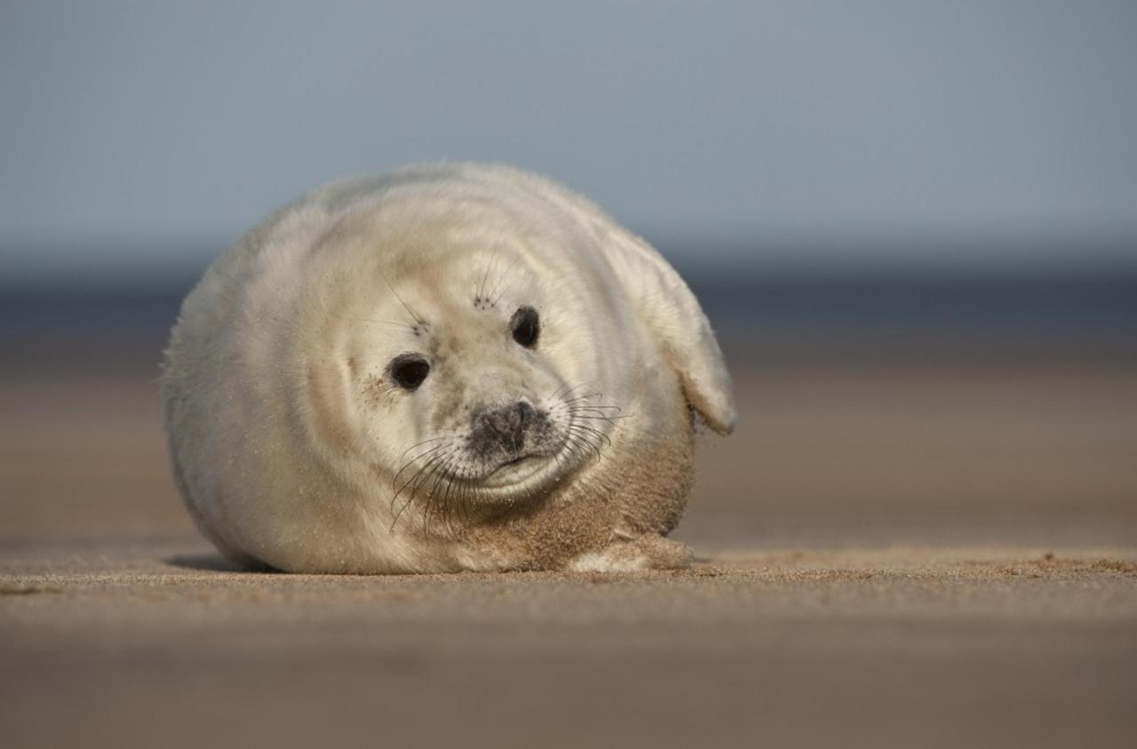 Seal Pup on the Beach in Donna Nook